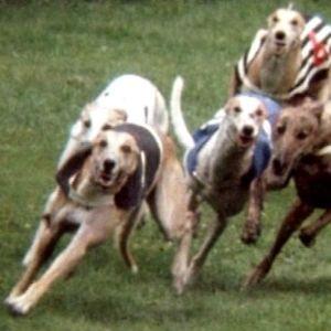 Vinttikoirat taistelevat voitosta juoksuradalla.