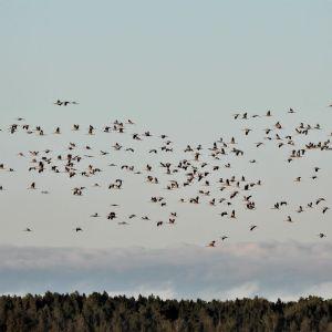 Kurkiparvi lentää pellon yllä.