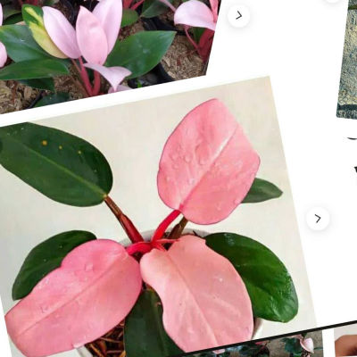 Ett kollage av skärmdumpar på annonser från sidan etsy.com med en rosa växt vid namn pink congo till salu.