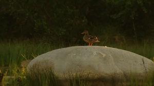 Sinisorsa istuu kiven päällä Otanmäen lintujärvellä.