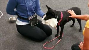 Svart hund övar på att bli vidrörd av främmande människa.