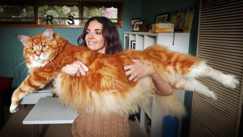 världens tjockaste katt