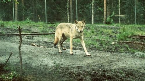 Vargar skjutna i djurpark