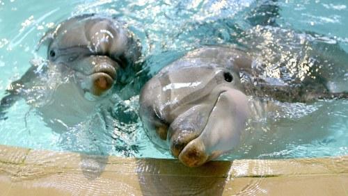 Forskare far skjuta delfiner