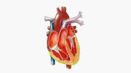 Sydämmen poikkileikkauskuva. Poikkileikkaus ihmisen sydämestä. 2025b375bb