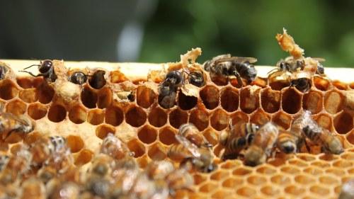 hur mycket honung ger en bikupa