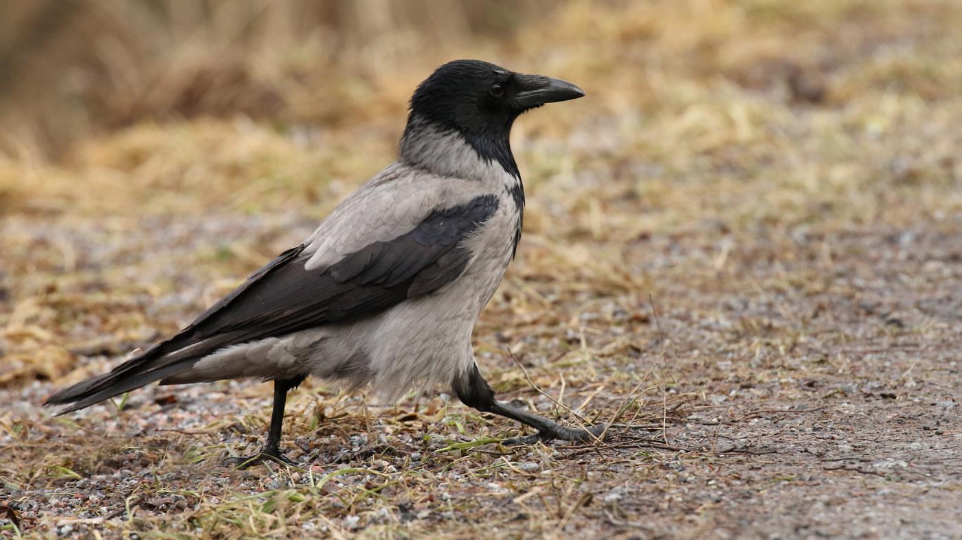 Kevään Yleisimmät Linnut