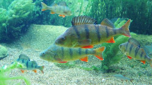 fiskar i stilla havet