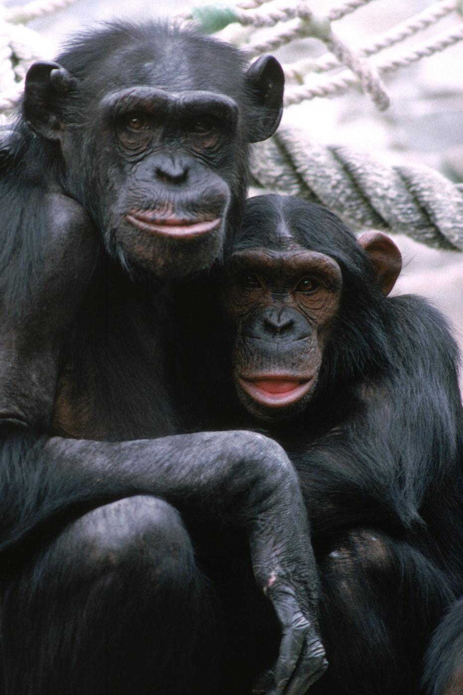 Simpanssit