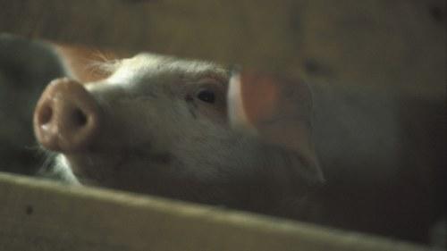 torkad svinsköldkörtel köpa