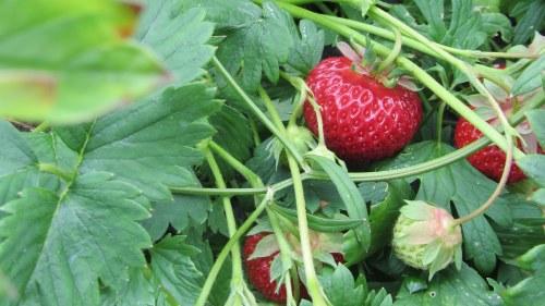 Torkade jordgubbar online dating