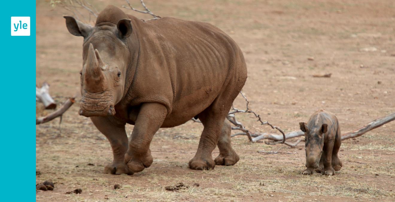 Protester fick Kina att ändra sig - det blir ingen handel med delar av noshörningar och tigrar ...
