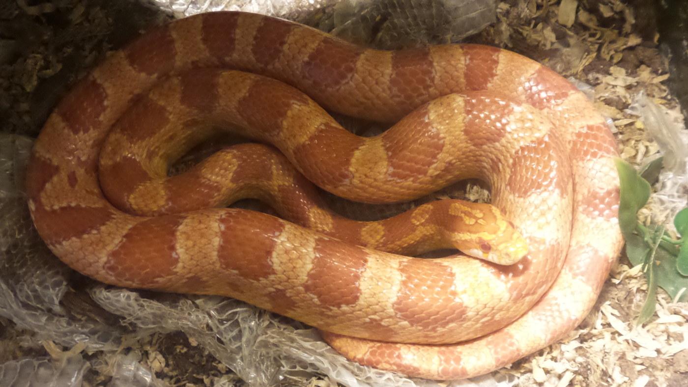 Lemmikki Käärme