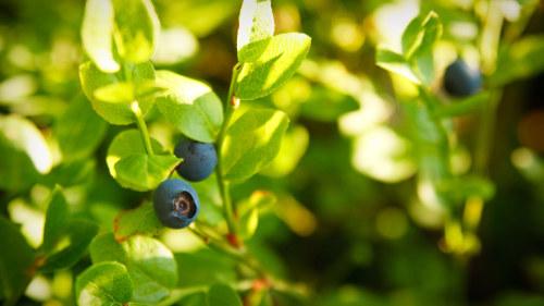 blåbär bra för