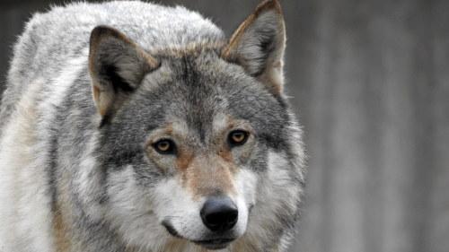 Flyttade vargar har rort pa sig