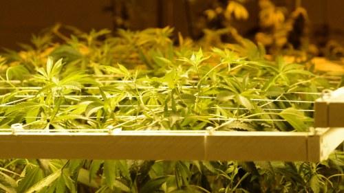 Kalifornien vill legalisera gras