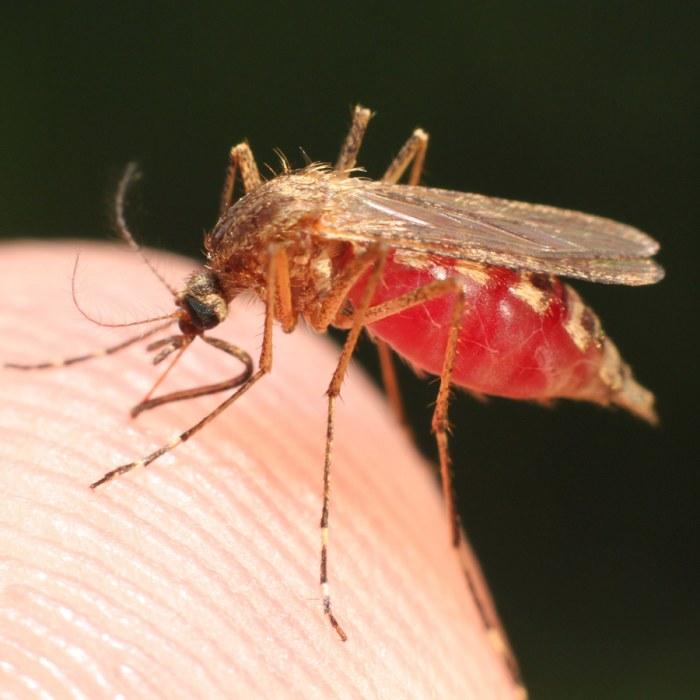 varför dras myggor till vissa