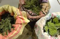 De torkade örterna - brännässlor, åkerfräken och ringblommor