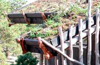 Skäggbräderna stöds upp av rötter