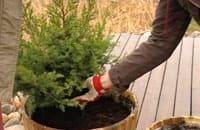 Plantera tork- och vindtåliga växter