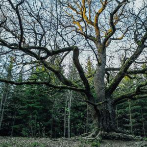 Käkkyräinen lehtipuu lehdettömänä metsän reunassa.
