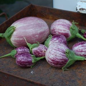 skördade auberginer