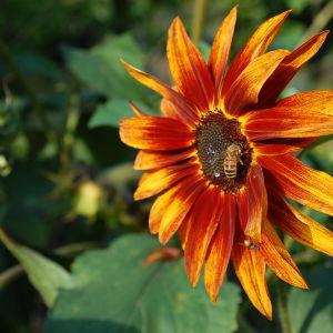 ett bi på en blomma