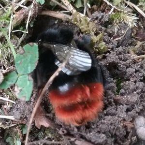 Roger Stark lade märke till en obekant insekt som liknar en humla. Den arbetade energiskt med att gräva ett hål i myllan. Vad är det för insekt, undrar han, och gräver den vineride eller lägger den övervintrande ägg.