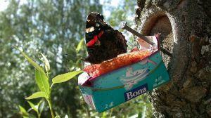 Amiraaliperhonen on tullut perhosbaariin.