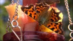 En fjärilsbar lockar till sig många olika arter.