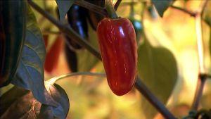 Paprika kasvihuoneessa
