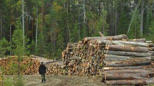 Ikimetsästä hakattuja puita Karjalssa.
