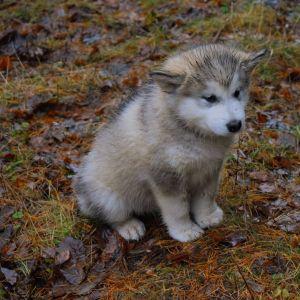 Den stulna hunden Lellu