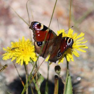 En fjäril på en gul blomma