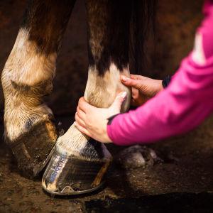 tyttö tunnustelee hevosen jalkoja