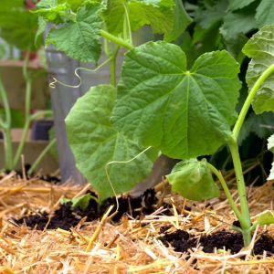 Cirka 2-3 tomat- elller gurkplantor är en lämplig mängd per halmbal