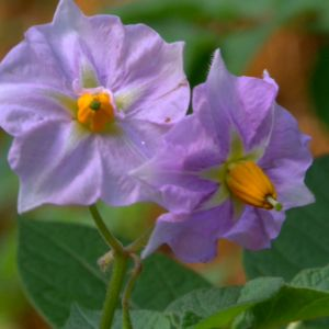 Blomsterprakt i potatislandet