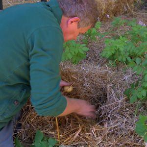 Potatisplantorna börjar ge skörd