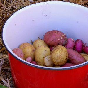 Halmodlingen ger ren och fin potatis