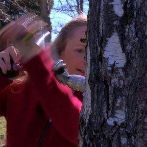 Alexandra borrar ett hål i björken.