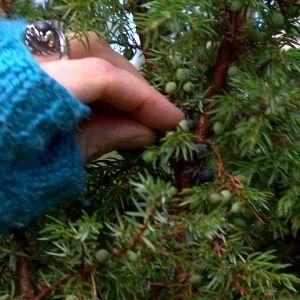 Alexandra plockar enbär