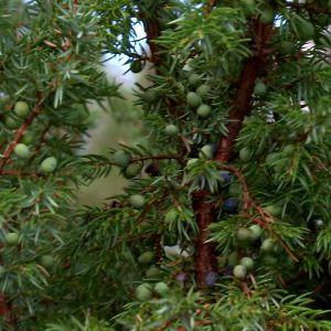 Enbärsbuske