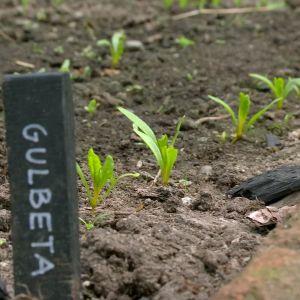 Ungplantor av gulbeta