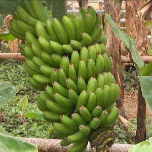 Banaaniterttu Islannin Maatalousyliopiston kasvihuoneessa