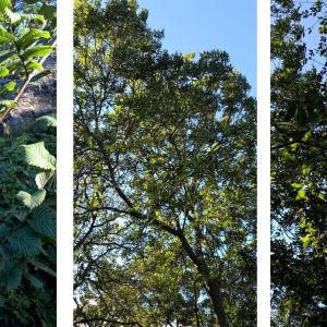 Björn har tagit bilder på tre olika träd och skulle vilja veta vad det är för sorter.