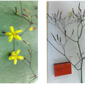 Vad är det för blomma? Hittades i utkanten av skolgården. Odlad eller vild? Pyttis Svenska skola, åk 3-4