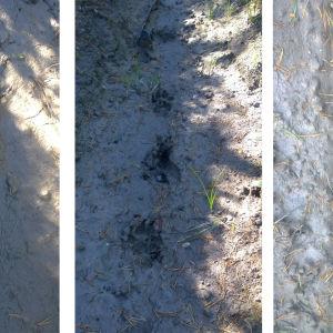 Här skickar jag några bilder på spår, vad tycker ni det kan vara för djur? Käppen bredvid fotspåret är 17cm långt. Ron Åberg i Pavda