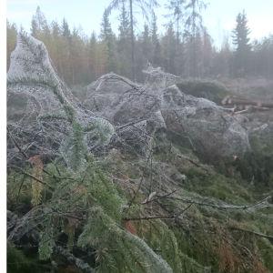 Fredrik Forsblom undrar vilka spindlar som vävt detta nät på nyhuggen skogsyta