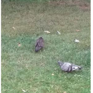 Två fåglar, den ena en duva, men vad är den bruna fågeln, undrar Benita.