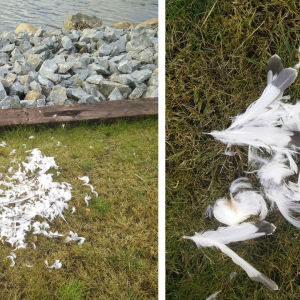 Resterna av fågel vid strand. Vem är offret, och vem är förövaren?